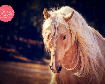"Palomino Quarter Horse Stallion Photographic Print, ""Stay Golden"""