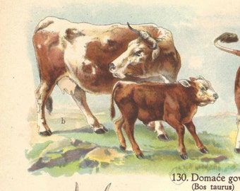 1939 VintageCow Bovine Mammal Original Lithograph Book Plate Animal