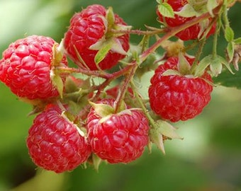 1 Dorman Red - Raspberry Plant - Everbearing - Organic