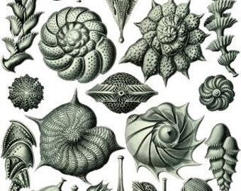 Haeckel Thalamophora Digital vintage artwork sea shells Printable poster Download crafts supplies scrapbooking decoupage Ihappywhenyouhappy