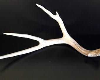 Brown 4 Point Mule Deer Antler Shed Horn - 412