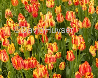Red 'n Yellow Tulip Scape