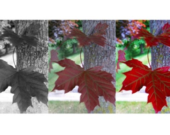Study of Maple Leaf
