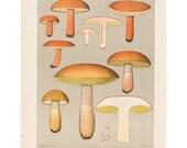 Antique 1895 mushroom print by CHARLES PECK, Plate 36, botanical, fungi, vintage chromolithograh print