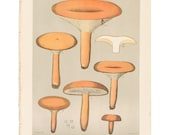Antique 1895 mushroom print by CHARLES PECK, Plate 30, botanical, fungi, vintage chromolithograh print