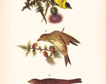 1890 Audubon Bird Print - Goldfinch Purple Finch Fox Sparrow - Vintage Antique Book Plate Natural Science or History Framing 100 Years Old