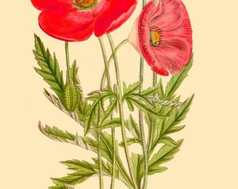 antique french botanical print red poppies flowers illustration digital download