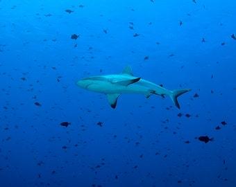 Shark Art Underwater Photograph of Reef Shark Bathroom Decor Blue Art