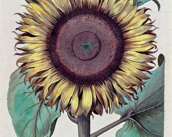 Sunflower, Illustration, 1640, Archival Quality Print