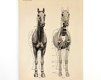 Horse Anatomy Pull Down Chart - Vintage Reproduction Canvas Print. Skeleton Biology Zoology Science Animal Study Print - CP118CV