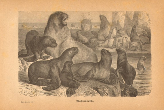 1876 South American Sea Lion or Patagonian Sea Lion - Otaria flavescens Original Antique Engraving