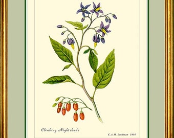 NIGHTSHADE - Vintage Botanical print reproduction  109
