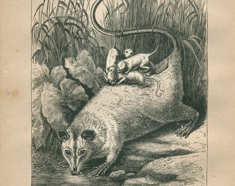 1889 Vintage Print Opossum and Young, Marsupial, Black and White Engraving