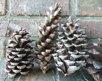 6 Large Real Pine Cones Handpicked from Upstate New York