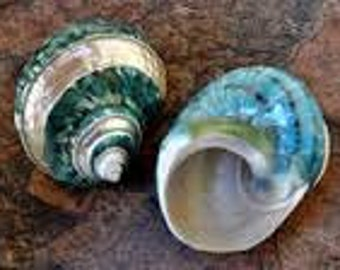 Large Silver Mouth Green Turbo Seashells