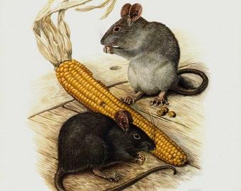 1961 Lovely vintage mouse print, mice eat grain
