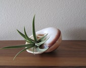 Air Plant Living in a Spiral Shell
