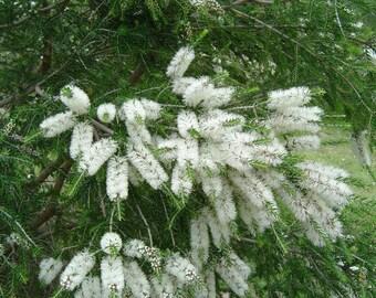 Tea Tree Essential Oil ~ Organic Essential Oil ~ Aromatherapy Oil ~ Pure Organic Tea Tree Oil ~ Melaleuca