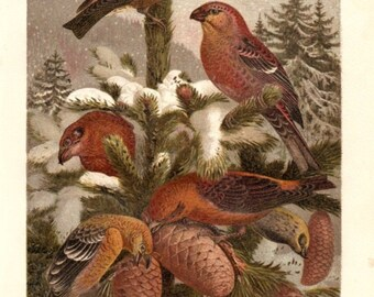 Brehms Bird Print Pine Grosbeak Antique Natural History Ornithology Life Of Animals Thierleben 1890 Highly Decorative Wall Hanging