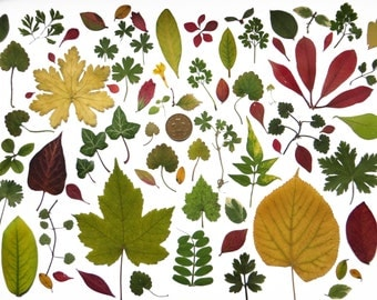 Real Pressed Leaves Floral Art/ Craft Card making Scrapbooking art supplies, craft supplies
