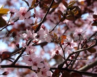 Cherry Blossom Tree - Photo Digital Download