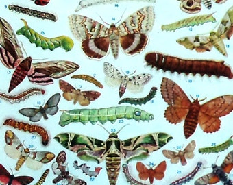1960s Moths Caterpillars Vintage Print British Insects Bugs Butterfly Lepidoptera Zoology Entomology children Decor Gift Animal Lithograph