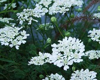 Orlaya Grandiflora - 20 Seeds - White Lace Flower