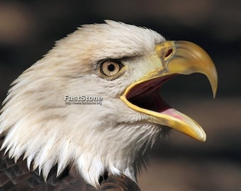 Screaming, Bald, Eagle, photo, bird photography, wildlife photography, shop, best, animals, raptor, wall art, home decor, free shipping