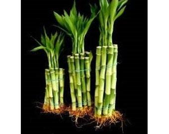 "30 Stalks of Straight Lucky Bamboo (4""x10 Pcs+6'x10 Pcs+8""x10 Pcs) (FREE SHIPPING)"