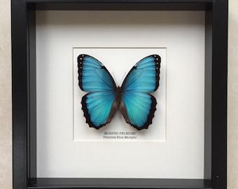 Peleides Blue Morpho Butterfly Frame