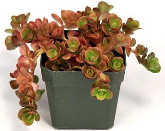 2 Sedum teractinum Coral Reef   - Two Live Fully Rooted Perennial Plants by Hope Springs Nursery - Stonecrop - Succulent foliage