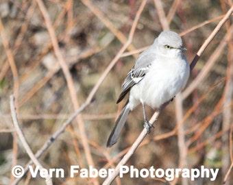 Northern Mockingbird, Bird Photo, Northern Mockingbird Photo, Nature Photo, Photograph Print