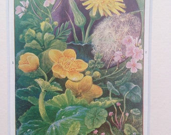 1903 Marigold Original Antique Botanical Print - matted and ready to frame - Gift Idea - Flower - Wall Decor - Home Decor - Decorative Print