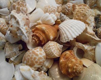 "4oz Indian Shell Mix Seashells 1/2""-1 1/2""  Medium Size Nautical Beach Decorations Crafting Aquarium Coastal Cottage Decor"