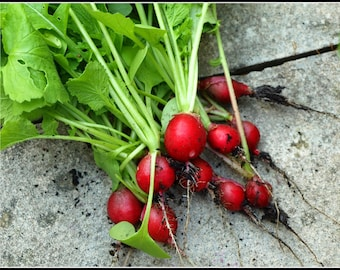 Radish Cherry Belle (200=>6400 seeds) heirloom salad sprouting no gmo #287