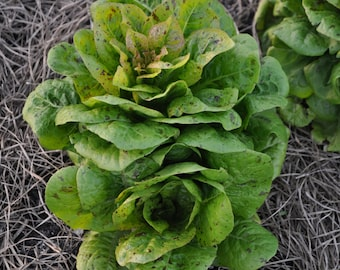 Romaine Lettuce Seeds 'Freckles' (500,1000,2000 seeds) bulk salad heirloom #145