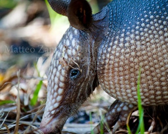 Inquisitive Armadillo || PHYSICAL PRINT
