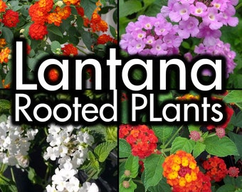 Lantana Plants - Lavender, White, Red, Gold