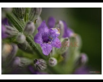 Photography print -  lavender