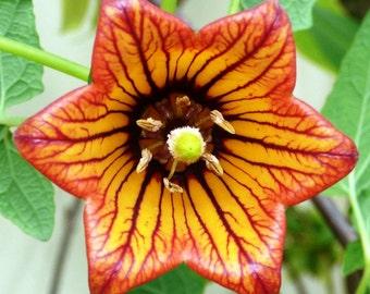 Canarina Canariensis Vine, Canary Island Bellflower Climber 10 Seeds, Garden Flowers