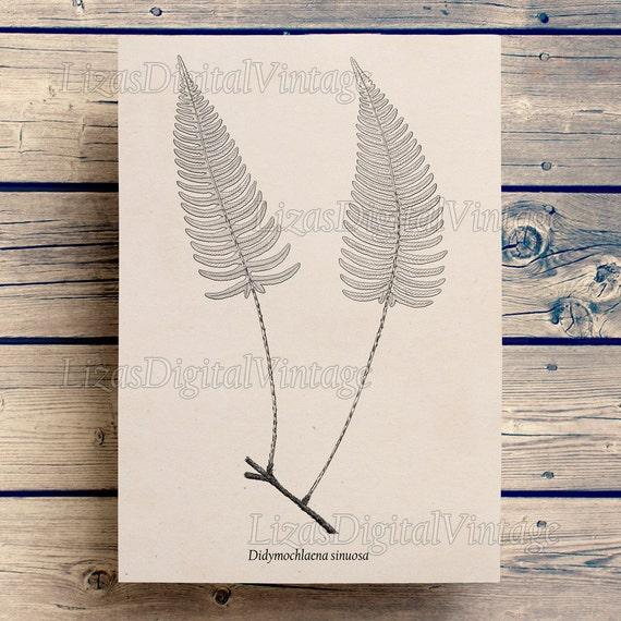 Digital printables, Fern illustration, Poster vintage, Fern clip art, Antique clip art, Clip art Vintage, Fern printable, Botanicals JPG PNG