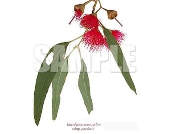 229 Eucalyptus leucoxylon subsp. petiolaris