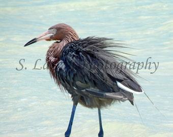 beach photography reddish egret photography heron photography ocean photography beach decor bird photography nature photography wildlife sea