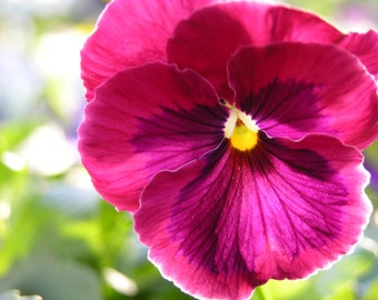 Purple Pansy In Spring Photograph #137