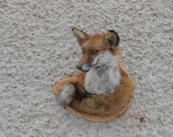 Red fox head mount with tail