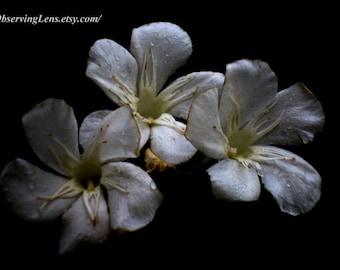 Tres Amigos Empapados - B&W and Color - Oleander
