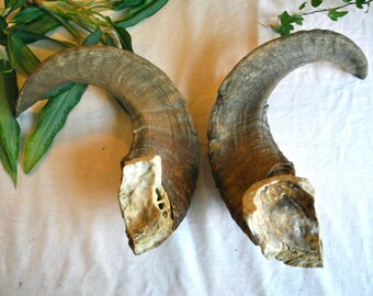 Authentic sheep horn pair