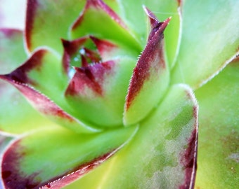 Macro Garden Succulent , Digital Print, Flower Photography, Vibrant green and purple,