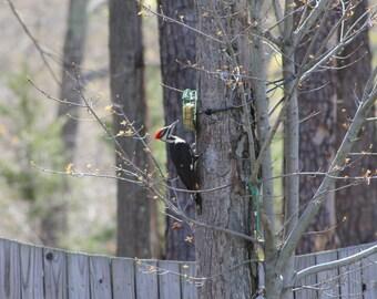 Beautiful West Virginia Pileated Wood Pecker