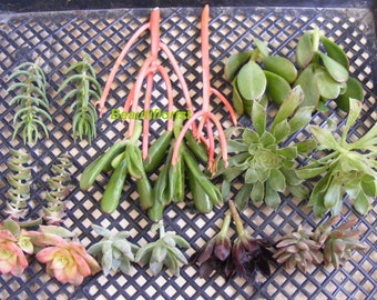 20 Assorted Succulent Cuttings Assorted Varieties -set 1